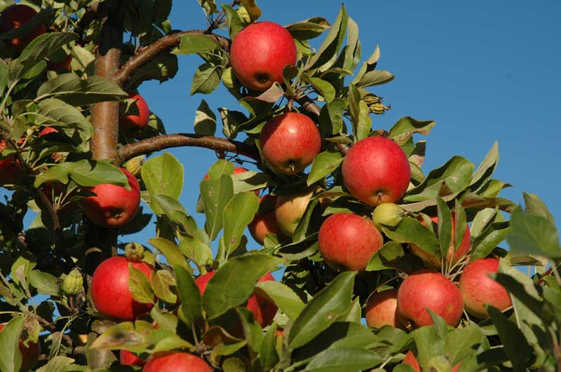 pluk selv æbler vejle